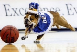 Drake's late live mascot Porterhouse, who passed away in December 2013, chases a basketball across the Knapp Center court.