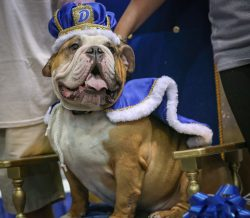 Vincent, the winner of the 37th Annual Beautiful Bulldog Contest, went from rags to royalty in less than a year.
