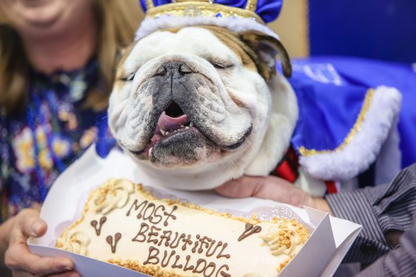 Bow Z Wins 39th Annual Beautiful Bulldog Contest